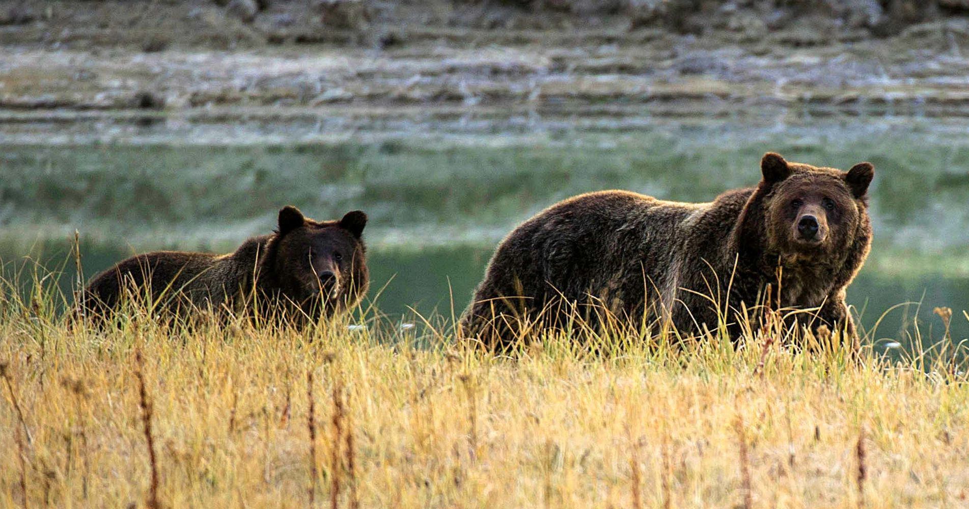 Federal Judge Restores Endangered Species Protection To Yellowstone-Area Grizzlies | HuffPost
