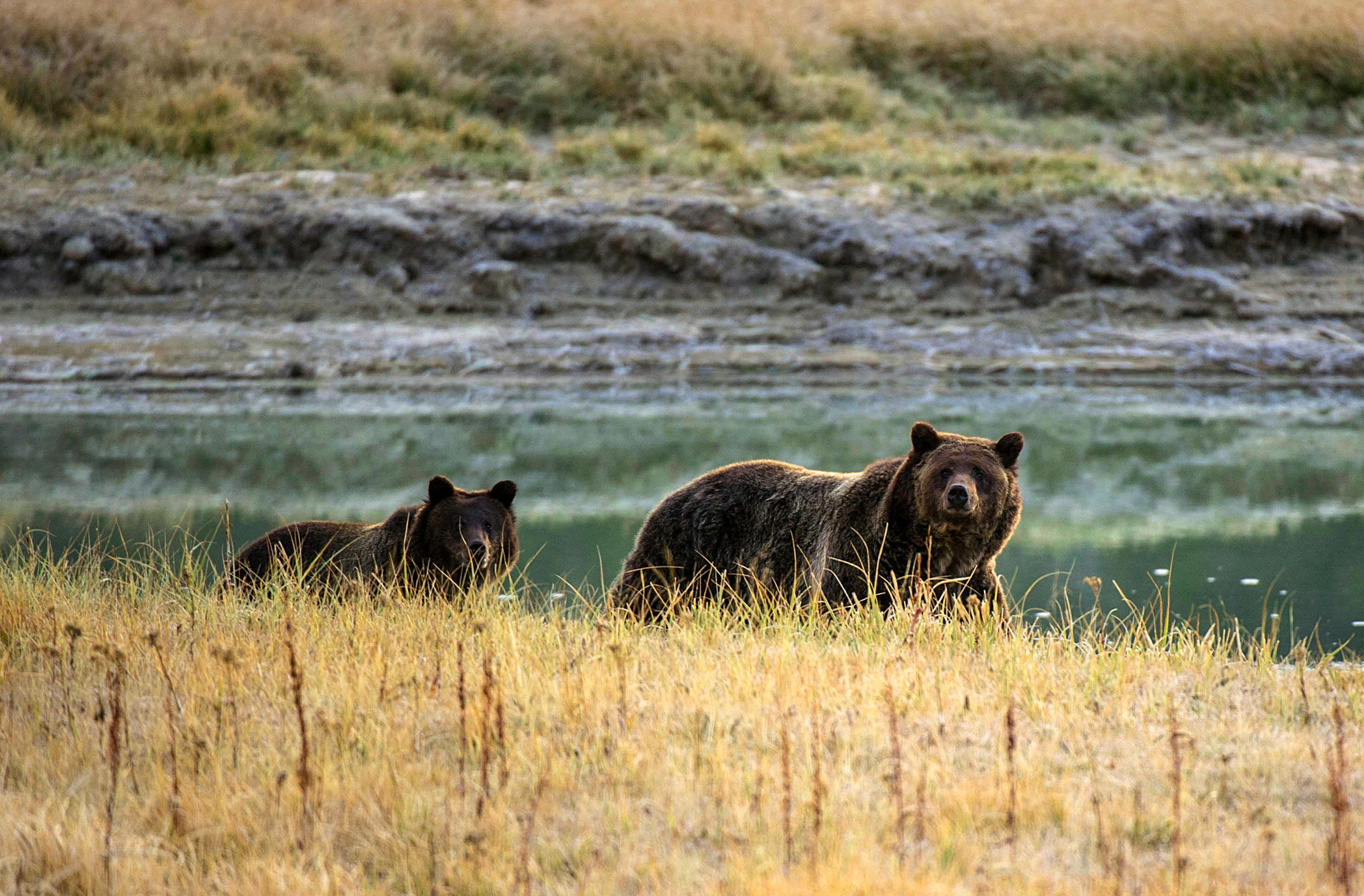 A Grizzly bear mother and her cub walk near Pelican Creek October 8, 2012 in the Yellowstone National Park in Wyoming.Yellowstone National Park is America's first national park. It was established in 1872. Yellowstone extends through Wyoming, Montana, and Idaho.  The park's name is derived from the Yellowstone River, which runs through the park.  AFP PHOTO/Karen BLEIER        (Photo credit should read KAREN BLEIER/AFP/Getty Images)