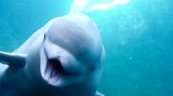 A Beluga Whale Has Been Spotted In The