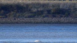 Σπάνια λευκή φάλαινα εντοπίστηκε στον