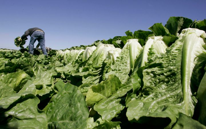 <em>A worker harvests romaine lettuce in Salinas, Calif., in August 2007. After an E. coli outbreak on spinach killed three p