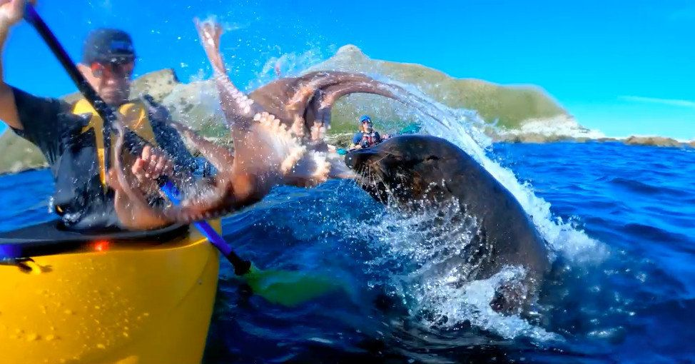 Seal Slaps Kayaker In The Face With Octopus Because Nature Is Completely