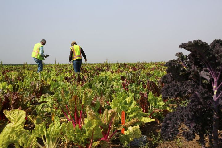 <em>Gary (left) and Kara Waugaman, food safety coordinators for Lakeside Organic Gardens, inspect rows of lettuce, kale and r