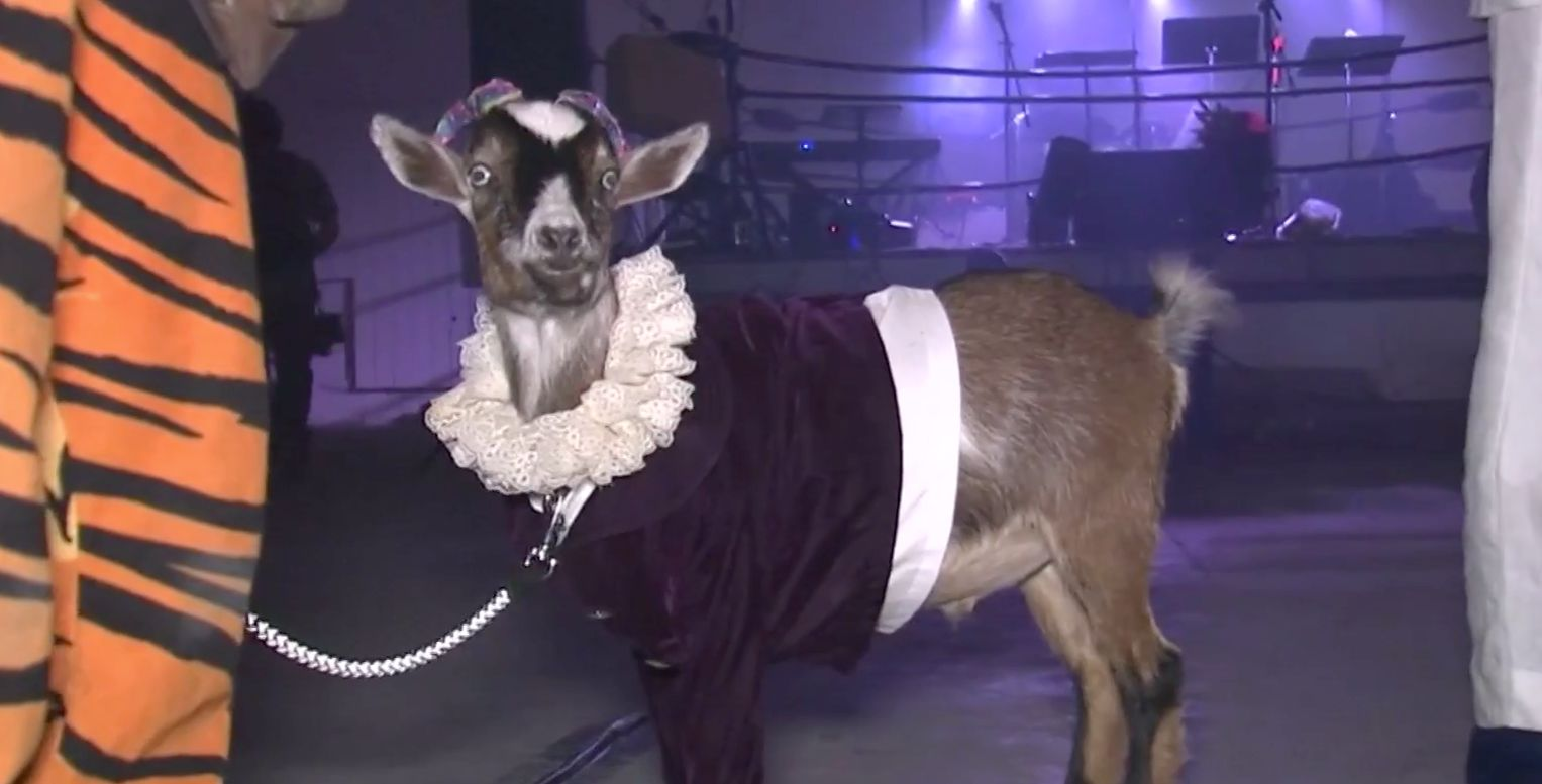 5 Cute Animal Pictures Of The Week: Party Goats And Very Naughty