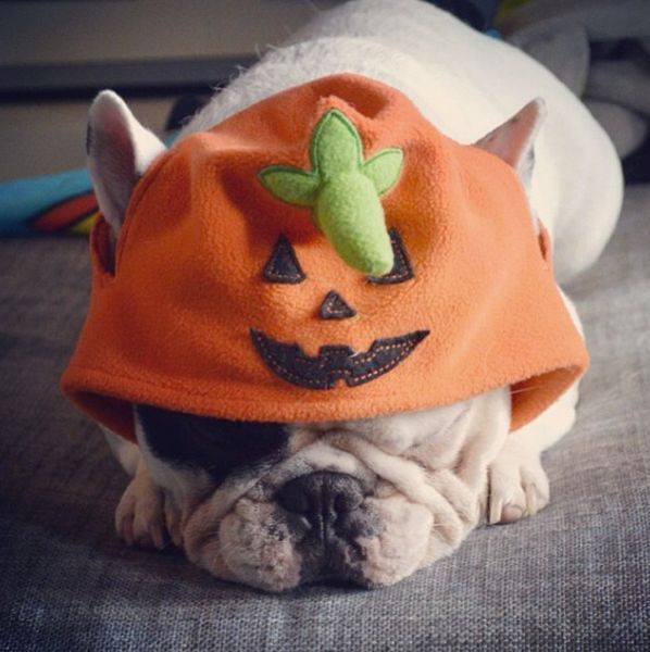 "<a href=""http://instagram.com/p/fLEdzWwztU/"" target=""_blank"">Manny the French bulldog</a> dons pumpkin chapeau."