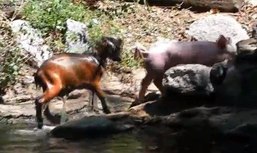 Did you see the viral video of the pig who rescued a drowning goat last year? It was totally adorable, and also totally fake.