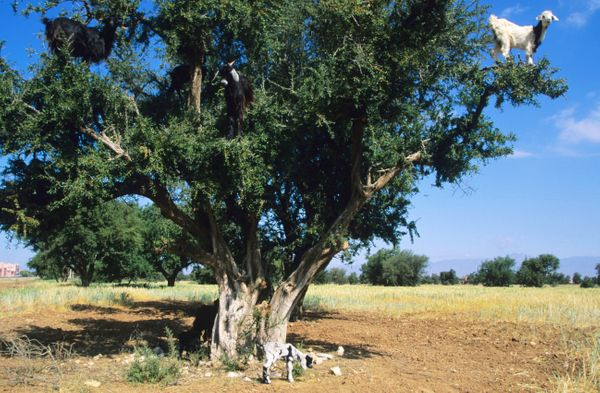 Goat (Capra hircus) feeding on argan tree (Argania spinosa), Southwest Area, Morocco