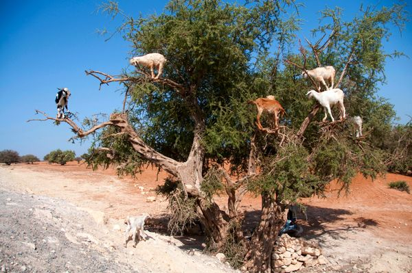 This photo taken on August 26, 2012, shows goats climbing up an Argan tree to its fruit, near Essaouira. (Fadel Senna/AFP/Get