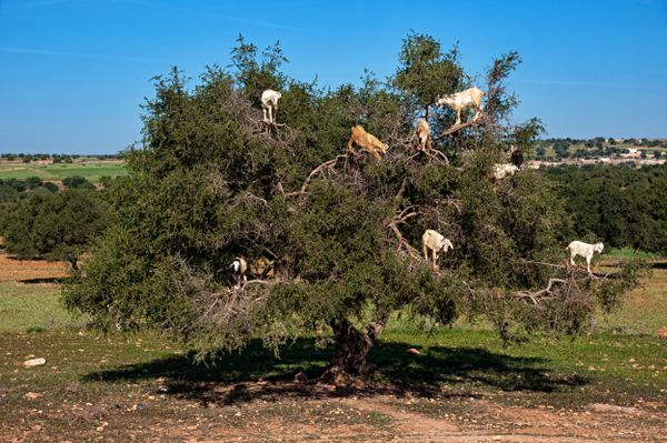 Goats on an Argan tree eating fruits near Essaouira. (Raquel Maria Carbonell Pagola/LightRocket/Getty Images)