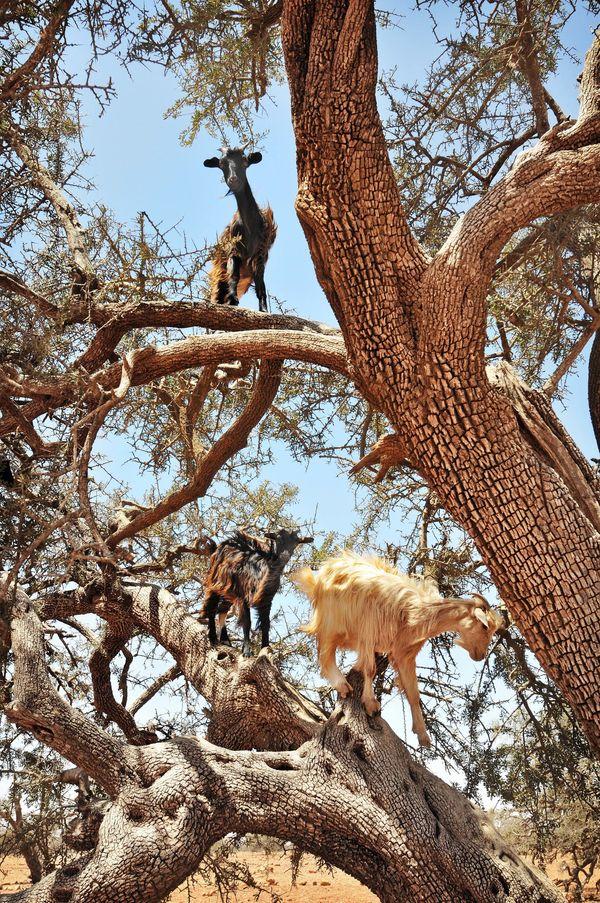 Climbing goats near Tafraoute.