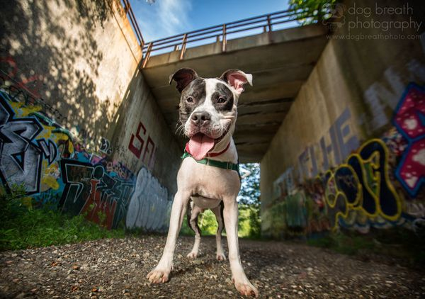 """Scrappy is a Pit Bull Mix adoptable from the <a href=""""http://www.mspca.org/adoption/methuen-nevins/"""" target=""""_blank"""">MSPCA at"""