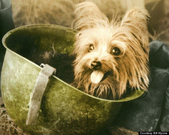 The teeny, tiny, four-pound Yorkshire terrier backpacked through the New Guinea jungle and cheered up injured soldiers. She's