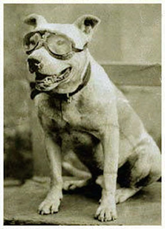 "Bud is a road tripper's dream canine companion. The pit bull was picked up by automobile pioneer <a href=""http://www.pbs.org/"