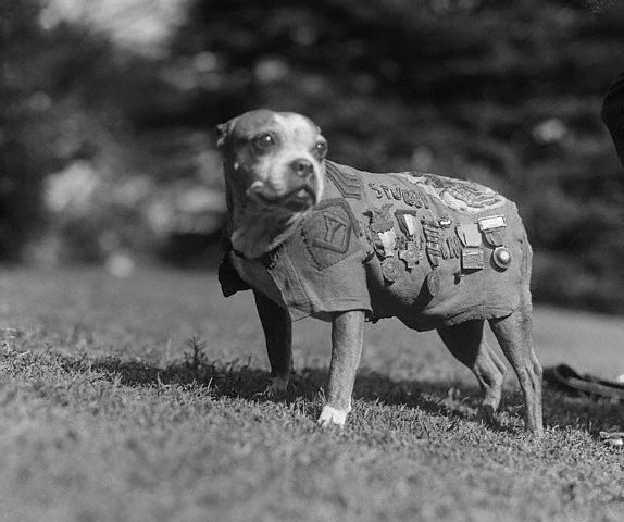 Stubby's short tail earned him his name, but his talent and dedication earned him his army title. The brindle pooch became th