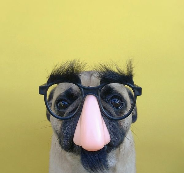 "<a href=""http://instagram.com/p/sufy4yCg29/?modal=true"" target=""_blank"">Jeremy Veach's pug</a> in disguise."