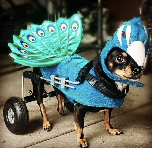"Proud as a <strike>peacock</strike> <a href=""http://instagram.com/p/tJWhAqOqNZ/?modal=true"" target=""_blank"">chihuahua</a>."