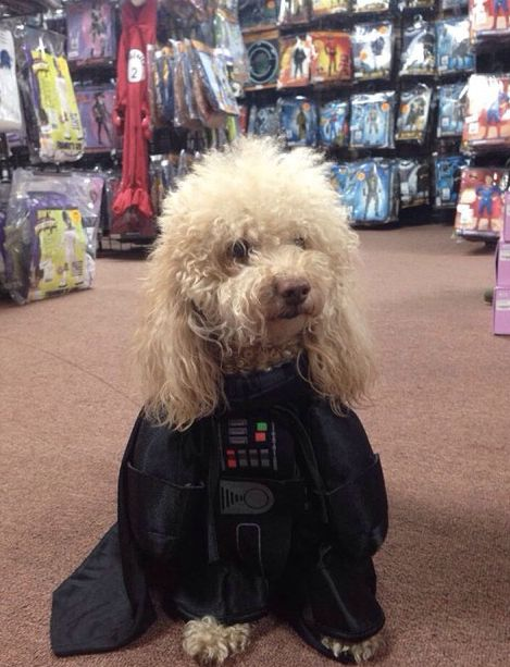 "<a href=""http://instagram.com/p/tb4D1KLdX_/?modal=true"" target=""_blank"">Bee Bee the Maltipoo</a> as Darth Vader. Yes."