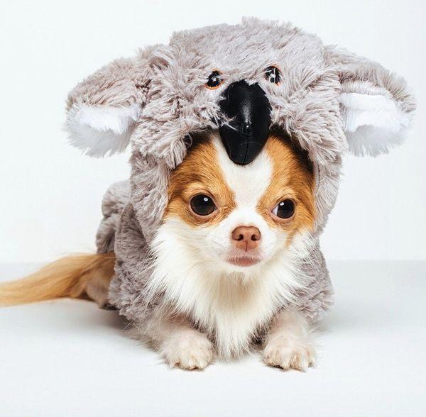 "<a href=""http://instagram.com/p/tbQl9GKoT0/?modal=true"" target=""_blank"">Roux the chihuahua</a> is one cute koala."