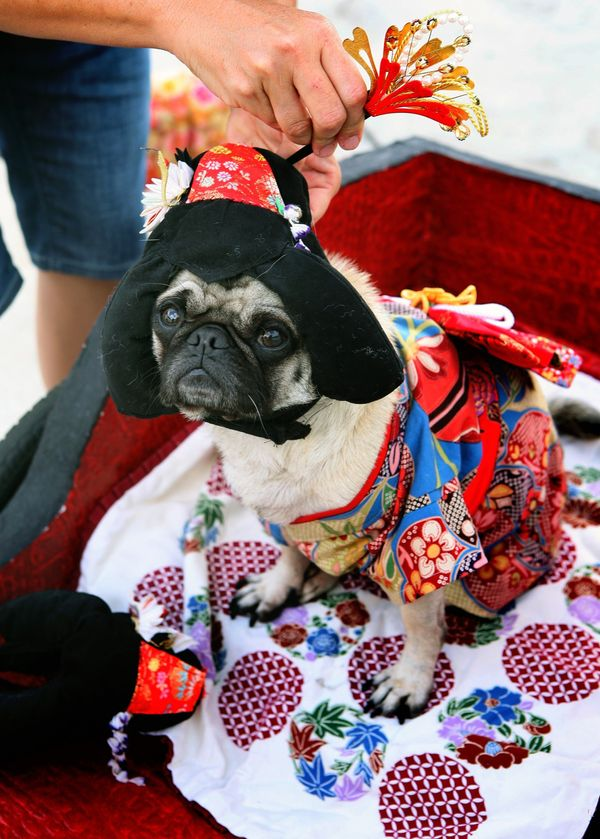 This photo taken Oct. 4, 2009 shows  Mochi, a 4 year old pug from Huntington Beach, Calif.  dressed by her owner Lisa Woodruf