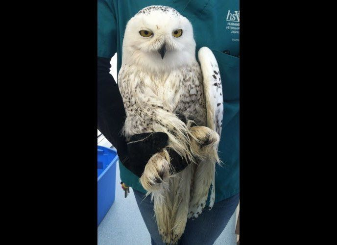 This Snowy Owl was hit by a car, and is recovering and being treated at the Cape Wildlife Center. Photo by Deborah Robbins Mi