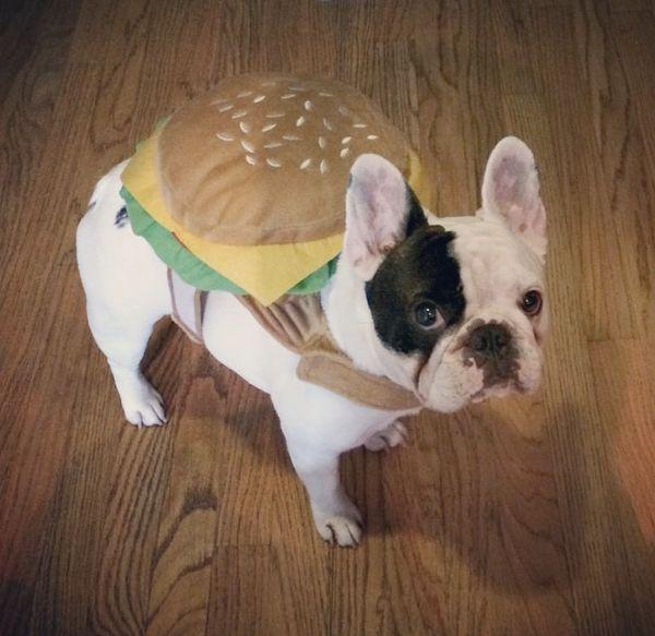 "<a href=""http://instagram.com/p/sA7zbEwzjE/"" target=""_blank"">많은 프렌치 불독들은 </a>치즈버거만큼 멋있다."