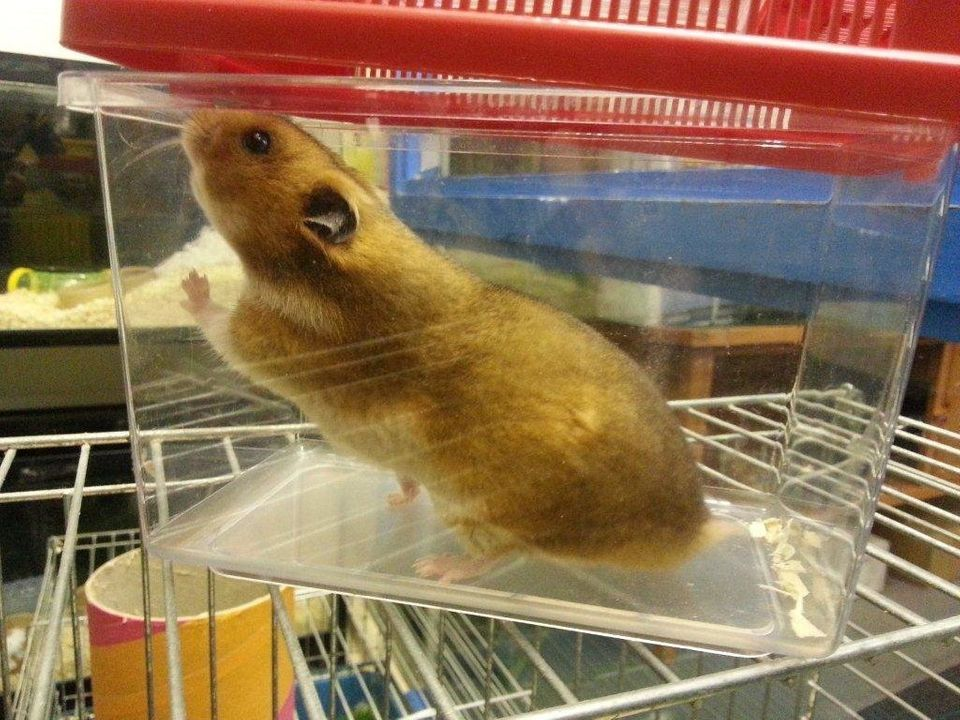 Meet Mini-Merv, the psychic hamster putting her skills to the test with a prediction on the World Cup draw - investigated by