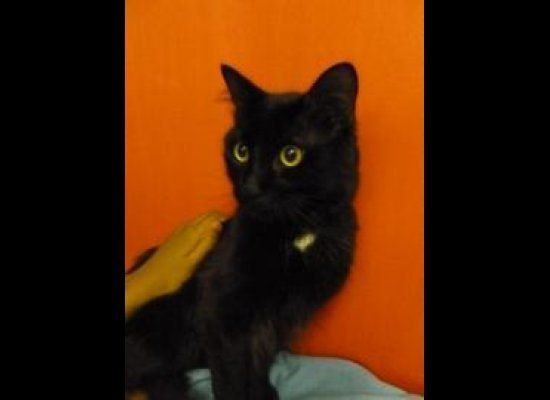Dusty is an 11-month-old affectionate cat in foster care who is ready to step in to any home. He is gentle, affectionate and