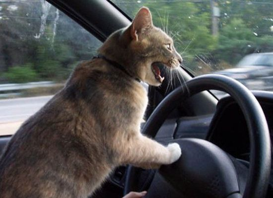 """I can haz brakes? (Via <a href=""""http://www.pictures-cats.com/cat-driving.shtml"""" target=""""_hplink"""">Pictures-Cats</a>)"""