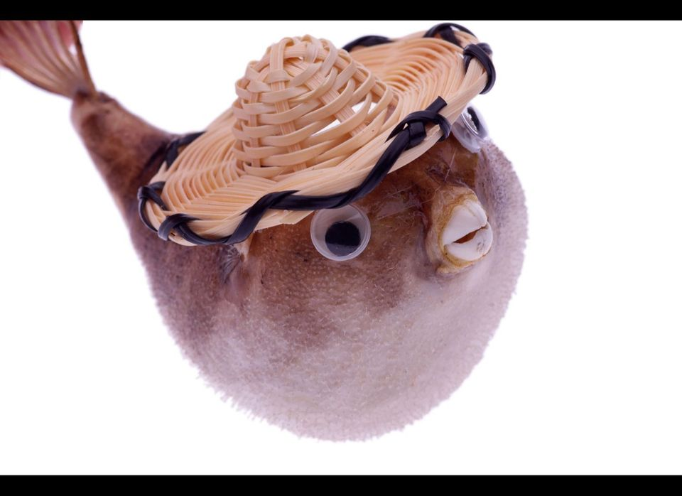 Hard to imagine anything as adorable as a blowfish (or perhaps a potato) with a custom fitted sombrero and eyes that move whe