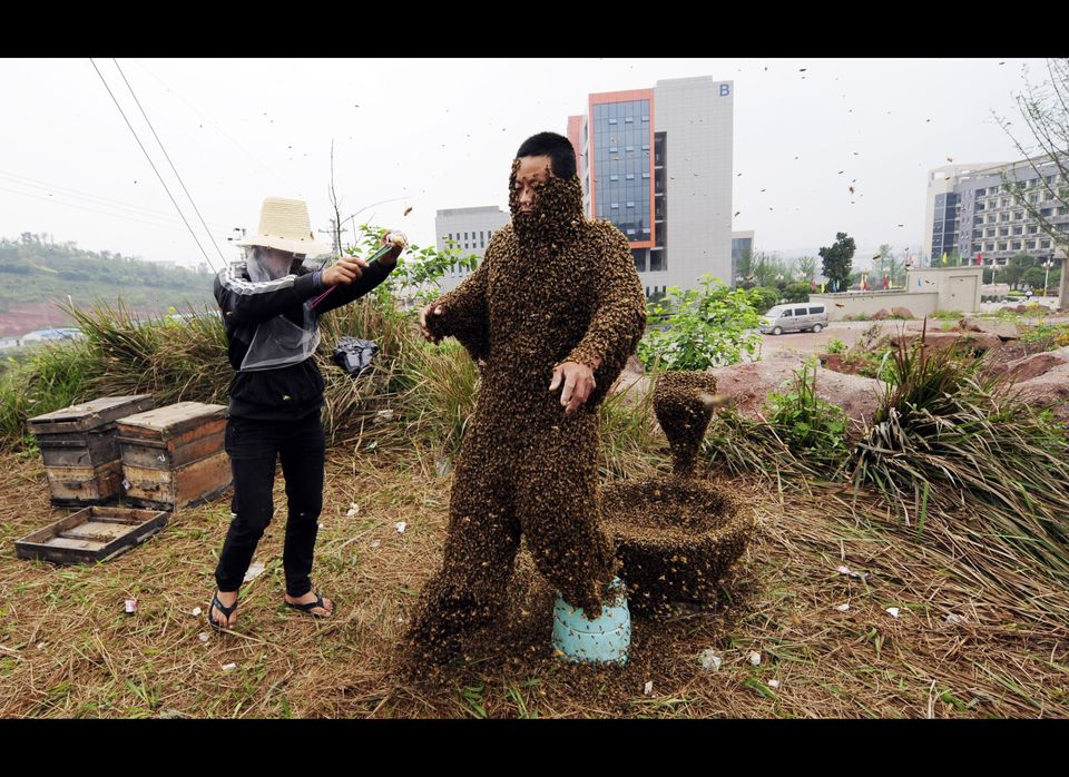 Chinese farmer She Ping gets covered with honey bees at his farm, producing honey to supplement their income in southwest Chi