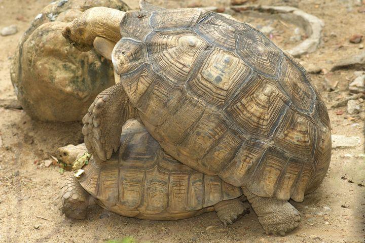 turtles breeding.