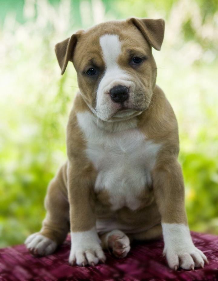 puppy american staffordshire...