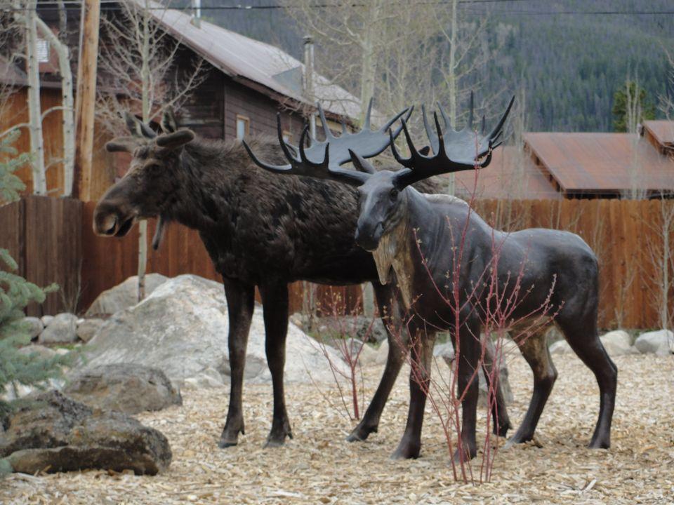"Courtesy <a href=""http://www.9news.com/news/sidetracks/339463/337/Amorous-moose-falls-for-Grand-Lake-statue-"" target=""_blank"""