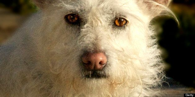 White fuzzy terrier with very big ears looks directly into camera.