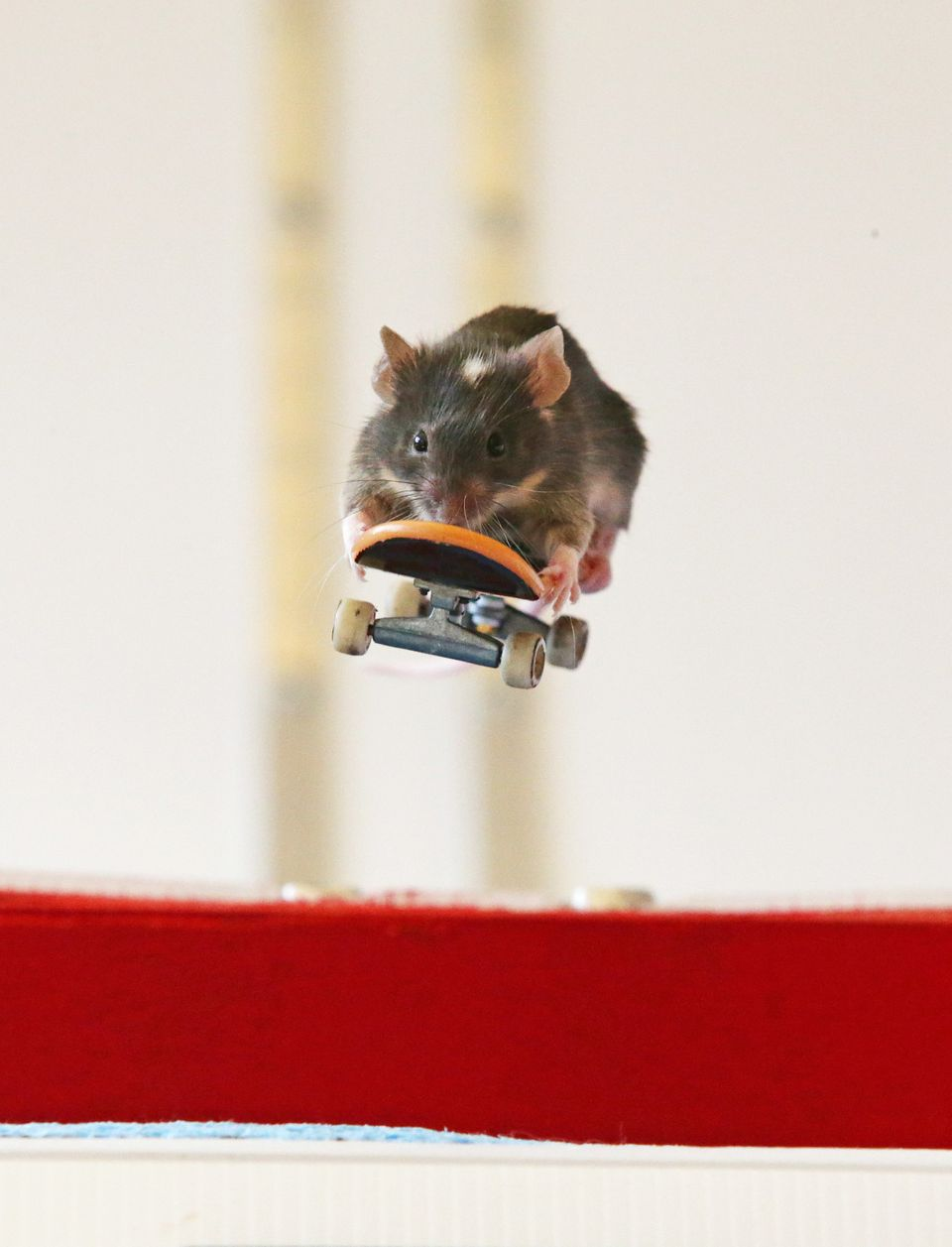 GOLD COAST, AUSTRALIA - AUGUST 2: (AUSTRALASIA & EUROPE OUT)  Pet mice ride on mouse-sized toy skateboards in a mouse-sized s