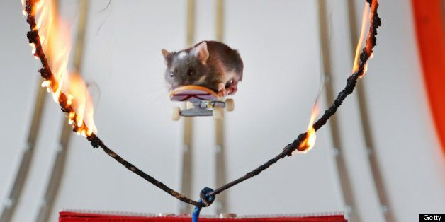 GOLD COAST, AUSTRALIA - JULY 31: (AUSTRALASIA & EUROPE OUT)  Pet mice ride on mouse-sized toy skateboards in a mouse-sized sk