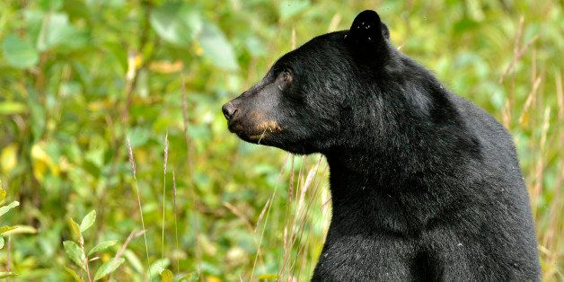 A close up image of an  adult  black bear, Ursus americanus, looking to the side