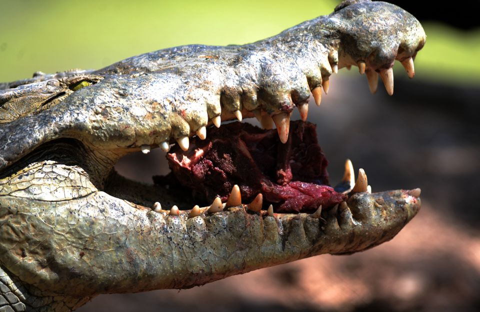 A crocodile (Crocodylus Acutus) eats meat in a pond in San Manuel, Cortes department, 200 Km north of Tegucigalpa on October