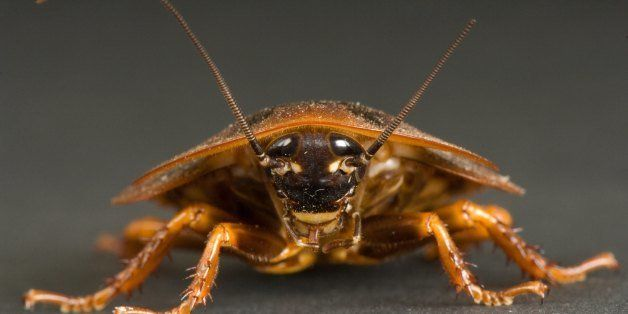 UNITED STATES - NOVEMBER 07:  A South American cockroach, Blaberus giganteus, Bramble Park Zoo, Watertown, South Dakota  (Pho