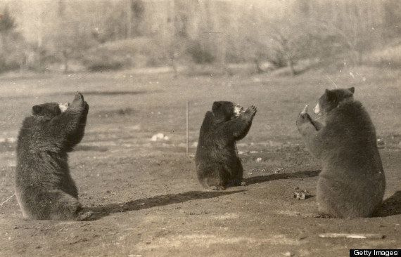 Three black bears sit in a circle and drink from glass bottles, Indian Head, New Hampshire, early 20th Century.