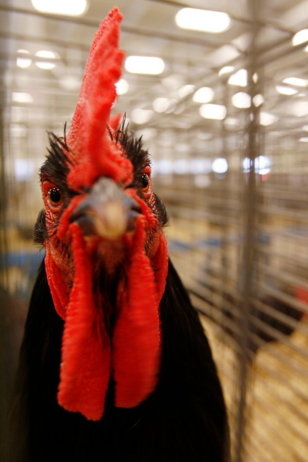 That's one big... rooster. The nation's smallest state is known for this special fowl, the Rhode Island Red, and larger-than-