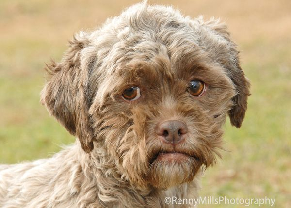 """Tonik, the poodle-Shih Tzu mix available for adoption from an Indiana animal welfare ageny, <a href=""""https://www.huffpost.com"""