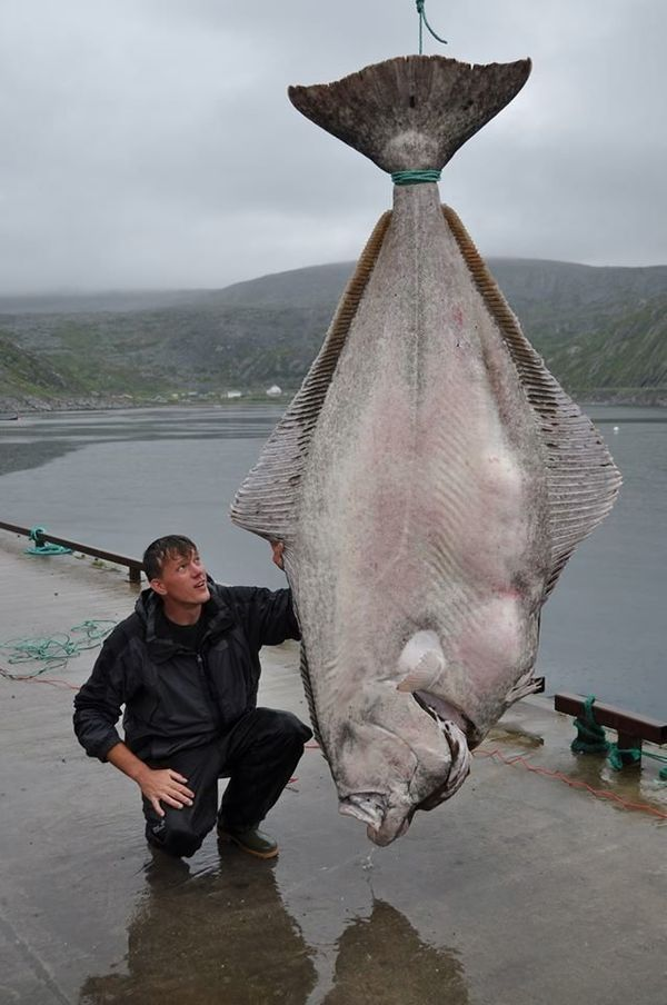 """German Fisherman Marco Liebnow landed this massive 515-pound fish after a 90-minute battle with the beast. <a href=""""https://w"""