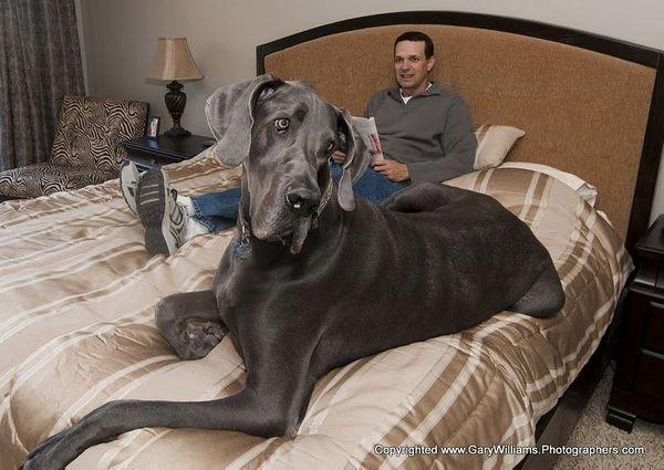 """A gentle giant has gone to doggy heaven. The former <a href=""""https://www.huffpost.com/entry/giant-george-dead-dog_n_4150118"""">"""