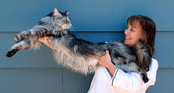 """Stewie the Cat, known<a href=""""https://www.huffpost.com/entry/stewie-worlds-longest-cat-dead-cancer_n_2629533""""> as the longest"""