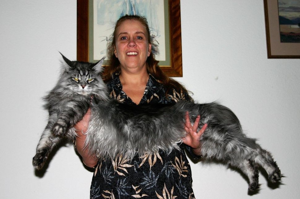 The world's longest domesticated cat, Stewie, measured more than 4 feet long from nose to tail. He died this February after a