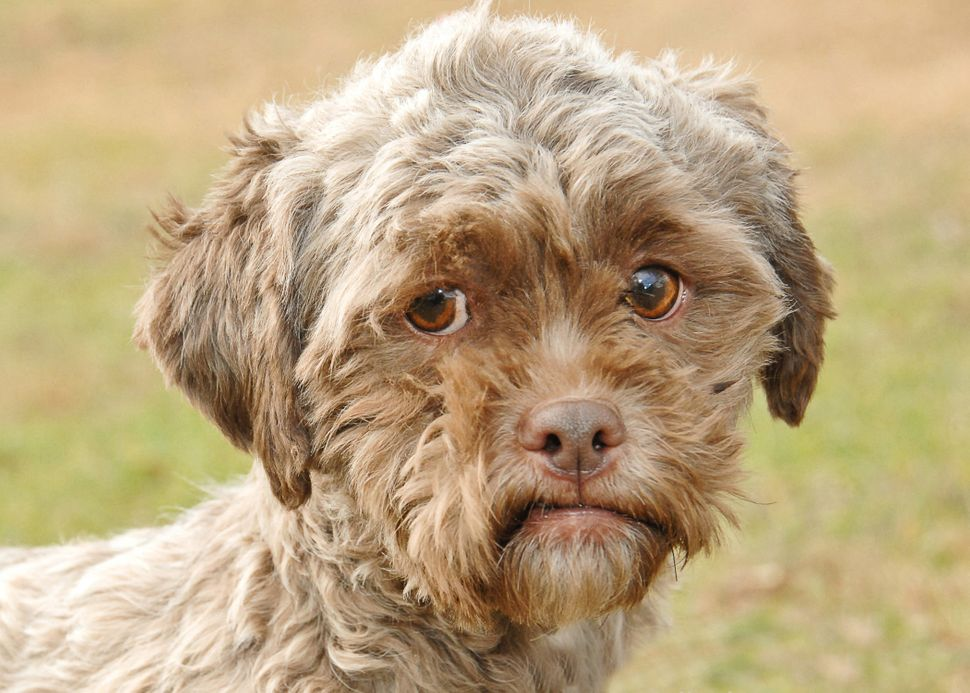 Images of a dog named Tonik were shared roundly on the internet, after Gawker pointed out that the poodle-Shih Tzu mix availa