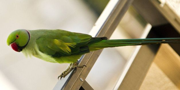 A rose-ringed parakeet is pictured on a balcony in the coastal Israeli city of Netanya, north of Tel Aviv, on September 05, 2