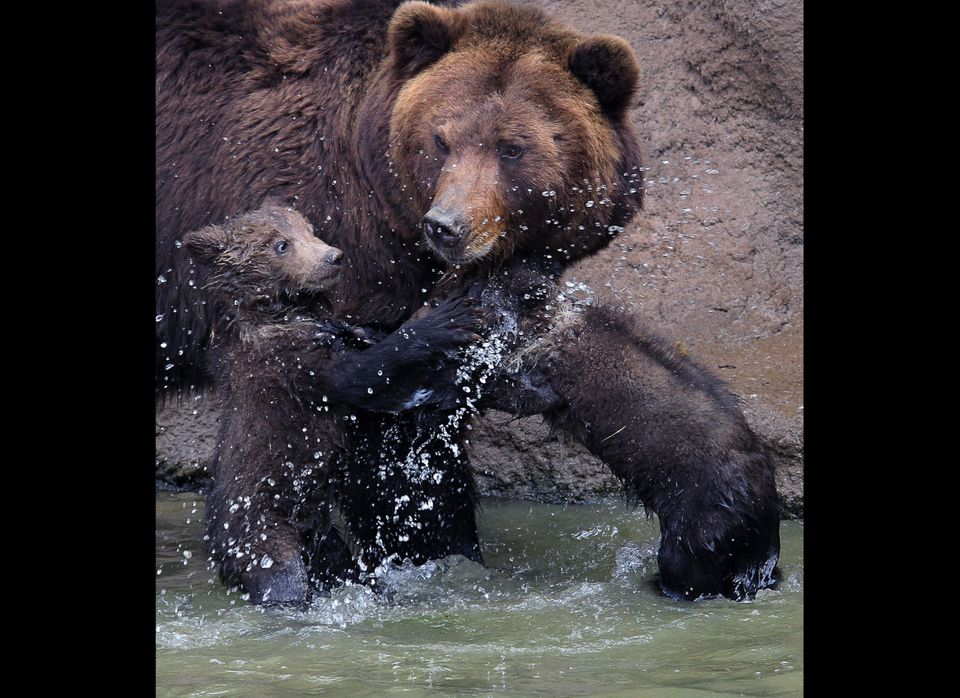 Kamchatka  bear twins  named Cuba and Toby, with their mother  Kamcatka play in the outdoor enclosure at Brno Zoo for the fir