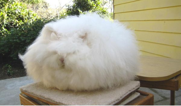 Chu, who has won numerous competitions, said she uses a dog blower to fluff up the wool, which can get as long as 10 or more